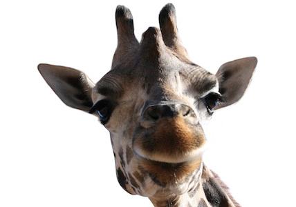 Die Giraffe - das Symbol der GFK